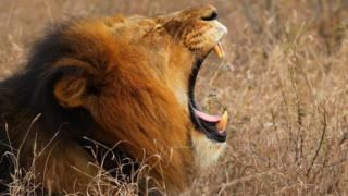 A lion in South Africa (archive shot)