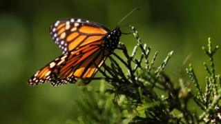 Monarch butterfly in California