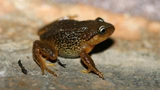 """Handout pictured released in Bogota by the Humboldt Institute of a Pristimantis macrummendozai frog. A terrestrial frog with yellow eyebrows that lives in Colombia""""s East Andes was identified as a new species by the Humboldt Institute researchers, reported the entity on March 8, 2016."""