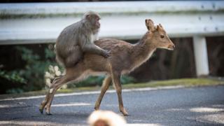 Monkey and deer