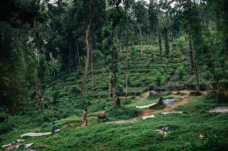 A tea plantation in Sri Lanka