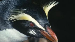 Пінгвін Вікторії