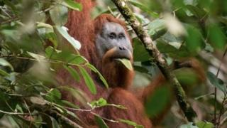 The Tapanuli orangutan is the seventh non-human great ape species