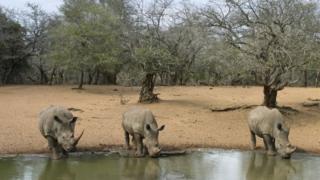Le rhinocéros blanc est une espèce en voie de disparition.