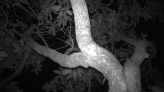 Black-footed tree rat