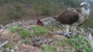Osprey with fish at nest