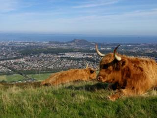 Highland cows on Pentland Ridge
