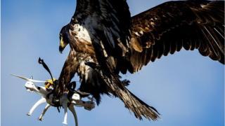 Природа и технологии: орлов в Нидерландах дрессирует орлов, которые после обучения смогут распознавать, перехватывать, а также уничтожать беспилотники.