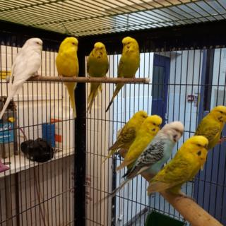 Rescued budgies