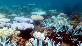 An undated handout photo obtained on April 19, 2018 from the ARC Center of Excellence for Coral Reef Studies shows a mass bleaching event of coral in Australia