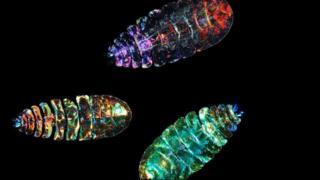 Морський планктонний копепод