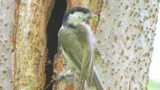 Marsh tit with food entering tree cavity