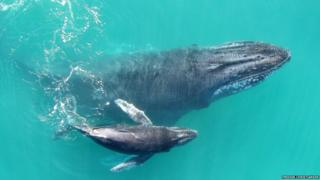 Humpback whale calf swimming with its mother