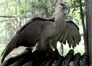 Gerlie, a Philippine eagle, is seen in a government wildlife centre in Manila on 6 June 2014, as the government celebrates the 16th Philippine Eagle Week from June 4-10.