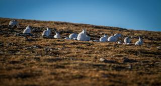 Hares in Southern Cairngorms on 27 January