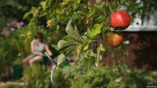 Apples ripening in a Berlin allotment garden