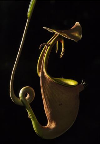Рослина-хижак