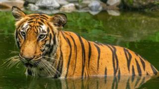 孟加拉虎(图片来源:Roop Dey/Alamy)