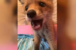 Fox cub after it was rescued