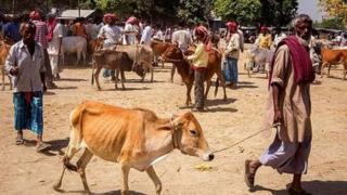 गाय के साथ बुजुर्ग, प्रतीकात्मक तस्वीर