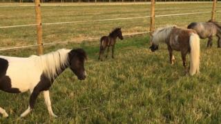 Miniature horses and foal