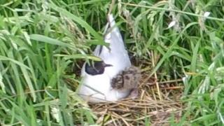 A little gull chick and parent bird at Loch Strathbeg
