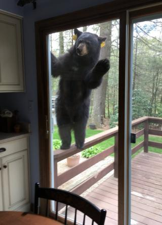 The bear tried to get through several doors before wandering off