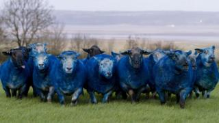 A flock of sheep were spray-painted blue in support of the City of Culture Bid