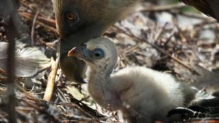Filhote de abutre é mimado por pais no zoológico Artis, em Amsterdã, na Holanda