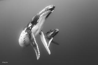 Humpback mother and calf in the plankton-filled water around the island group of Vava'u, Tonga.