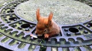 红松鼠被卡在排水井盖漏洞中,动弹不得。