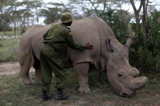 A wildlife ranger strokes a northern white rhino, only three of its kind left in the world, ahead of the Giant Club Summit of African leaders and others on tackling poaching of elephants and rhinos, Ol Pejeta conservancy near the town of Nanyuki