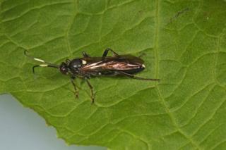 Parasitic wasp Diphyus salicatorius