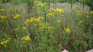 Ragwort is listed by Bristol council as a common weeds dealt with in its vinegar trial