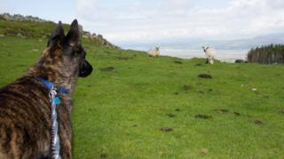 Dog on lead in front of sheep