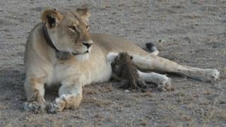 A picture of the lioness Nosikitok nursing a young leopard cub as she lounges in the arid Serengeti