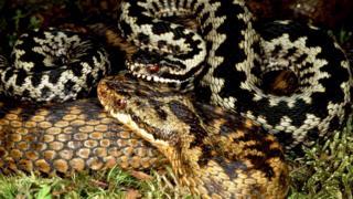 Самец обыкновенной гадюки (Vipera berus) охраняет самку от других самцов