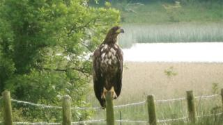 Sea eagle Sarah McCaffrey spotted during her breeding wader survey when it came to rest on a fence post on Upper Lough Erne