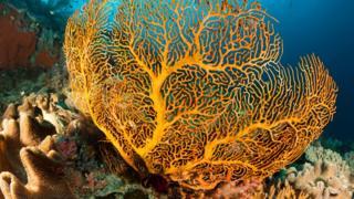 A Gorgonian sea fan in a coral reef