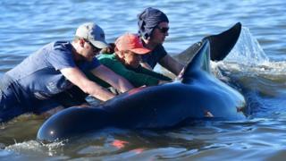 2月11日,志願者在告別角將一頭鯨魚推到水中。