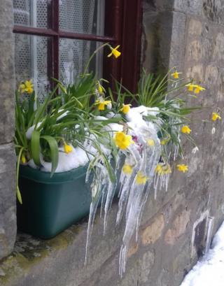Daffodils and icicles