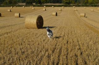 Dog and hay bales