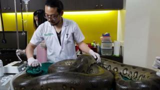 Anaconda lying on operating table