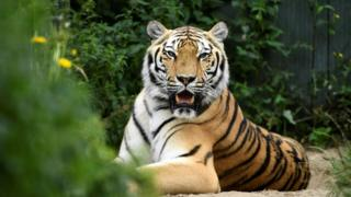 Siberian tiger at a foundation in the Netherlands which rescues retired circus animals