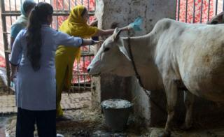 Cows are considered holy by India's majority Hindu population