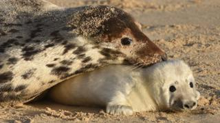 Seal pup with its mother