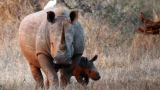 File image of White Rhinoceros in the Kruger National Park, South Africa