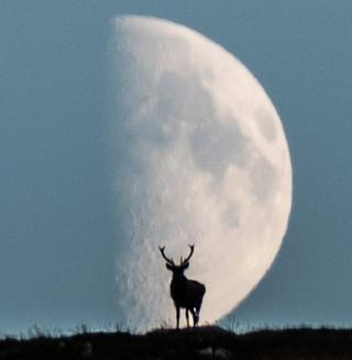Red Deer Stag at Loch Muick - 9th October. By chance the deer appeared, roaring to its competitors, on the hillside with the moon rising behind it