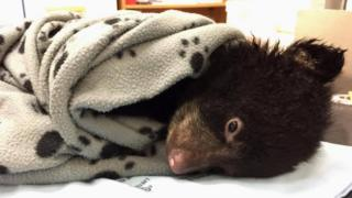 Baby bear wrapped up in blanket