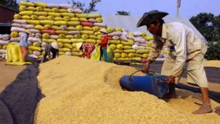Nông dân thu gom thóc đóng bao để bán tại tỉnh Hậu Giang.